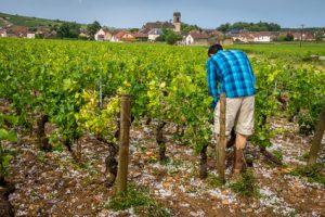 Les intempéries touchent les vignes